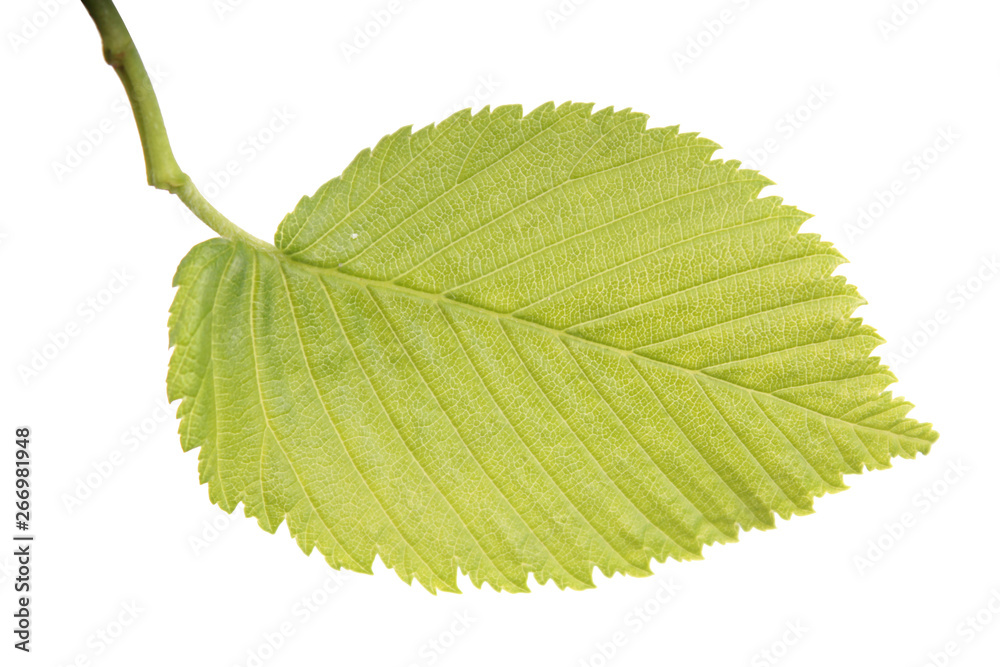 Fototapeta Green leaf of Ulmus laevis or European white elm close-up isolated on white background