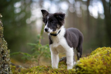 Portrait Of Border Collie Puppy In The Woods