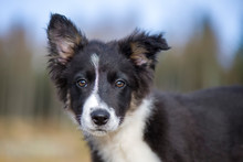 Portrait Of Border Collie Puppy