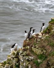 Guillemots Standing On A Cliff Ledge At Bempton Cliffs