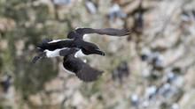 A Guillemot In Flight Over Bempton Cliffs