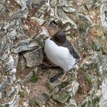 A Guillemot Standing On A Cliff Ledge At Bempton Cliffs