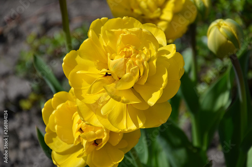 Garden Poster Narcissus tulip flower, yellow with green leaves,