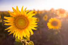 Bright Colorful Sunflower In Sunlight