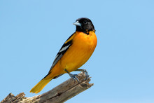 Male Northern Baltimore Oriole (Icterus Galbula) Perched On A Tree Branch Under A Sunny Blue Sky.