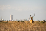Fototapeta Sawanna - Grants Gazelle in Nairobi national park, Nairobi skyscrapers in the background