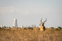 Grants Gazelle In Nairobi Nati...