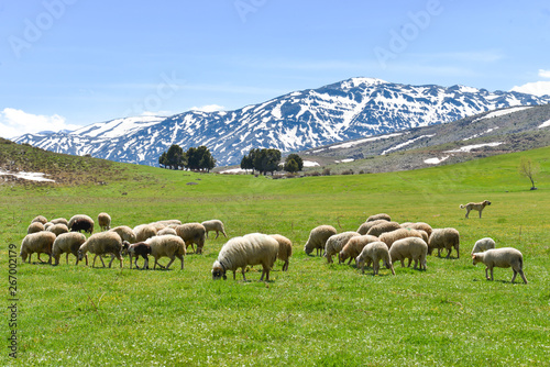 Obraz na plátně  flock of sheep in the mountains