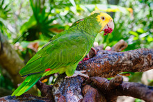Yellow Headed Parrot Perched On A Tree
