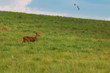 Red deer male in the grass field