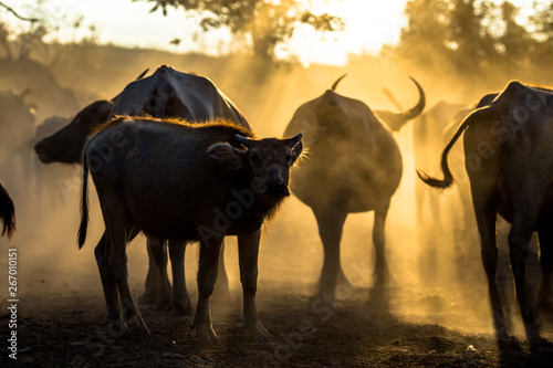 Photo  Blurred wallpaper (buffalo flocks) that live together, many of which are walking for food, natural beauty, are animals that are used to farm for agriculture, rice farming