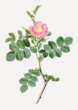 Pink Sweet Briar Rose