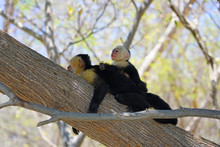 A Baby White-headed Capuchin Monkey (cebus Capucinus) On His Mother's Back On A Tree Branch In Peninsula Papagayo, Guanacaste, Costa Rica