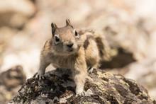 Golden Mantled Ground Squirrel I