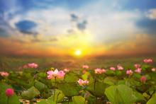 Lotus (Lotus India, Lotus Sacr...