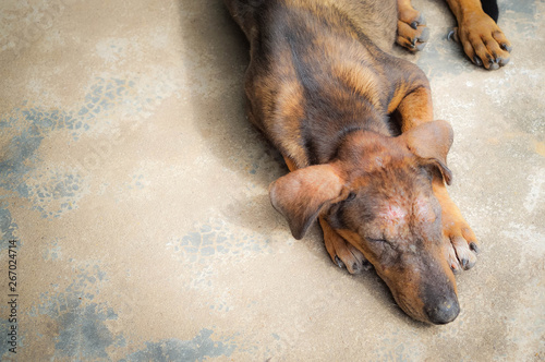 sickness skin  of dog   sleeping on the floor Canvas-taulu