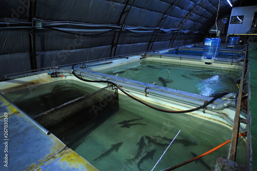 Photo At an indoor fishery: hall with temperature control system and tanks with adult