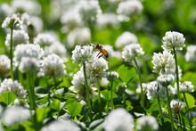 クローバーの白い花と...
