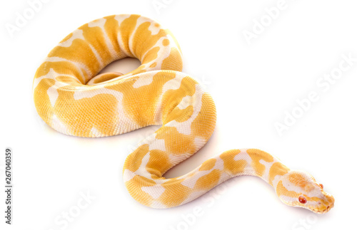 Fotografie, Obraz  Ball python in studio