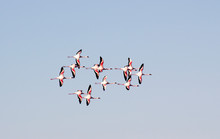Beautiful African Pink Flamingos Flies To The Sky