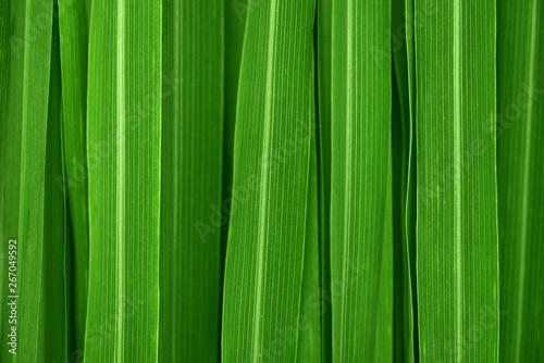 Lemongrass leaves background Obraz na płótnie