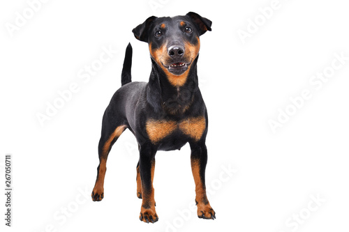 Foto  Cute  dog breed Jagdterrier standing isolated on white background