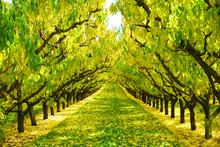 Beautiful Gorgeous Symmetric Row Of Cherry Trees In Autumn Golden Leaves Sunlight And Fallen Red Orange Leaves On Ground Fruit Orchard In Autumn Season In Cromwell New Zealand Fall Color