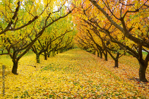 Foto Beautiful gorgeous symmetric row of cherry trees in autumn golden leaves sunligh