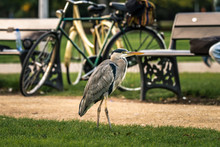 Grey Heron Standing In A City Park