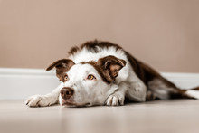 Border Collie Dog Laying Down Indoors