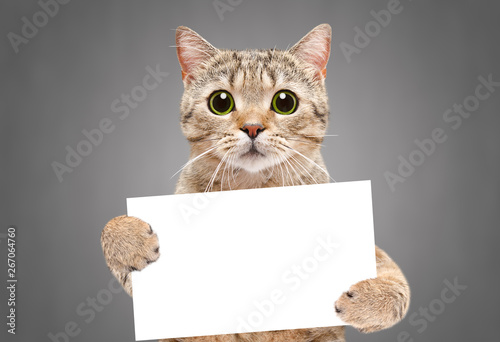 Obraz Portrait of a cat Scottish Straight with a banner in paws on a gray background - fototapety do salonu