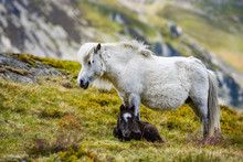 A Pony With Its Foal Grazing In The Mountains Of Snowdonia In Wales.