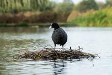 Moor Hen Standing On Its Nest ...