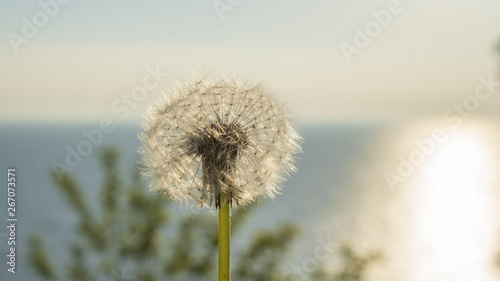 Poster Paardenbloem dandelion on the background of the sea