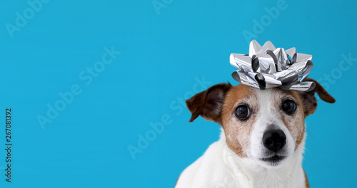 Fototapeta Jack Russell Terrier dog with bow on blue background. Holiday concept obraz na płótnie