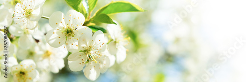 Banner 3:1. Cherry blossom in full bloom. Spring background. Copy space