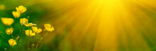 Banner 3:1. Close Up Meadow Buttercup Flowers (Ranunculus Acris) With Sunlight Rays. Spring Background. Copy Space. Soft Focus