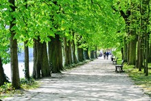 Avenue Of Chestnuts Trees At W...