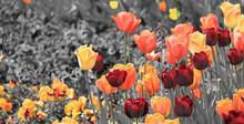 Schwarz-weißes Bild Mit Bunten Tulpen