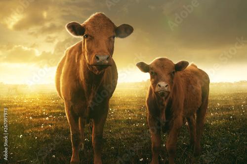 Photo Stands Cow Kuh und Kalb im Sonnenuntergang