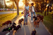 Dog walker walking with a group dogs in the park.