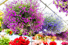 Many Colorful Tiny Purple, Pink And Red Small Flowers With Green Leaves Hanging In Pot In Park Garden In Sunlight