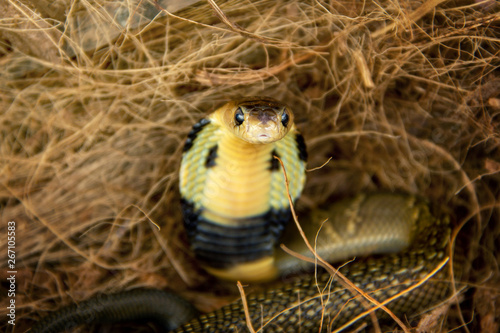 Photo  Baby Siamese cobra (Naja kaouthia) is poisonous dangerous serious snake and a species widespread across South and Southeast Asia in hiding a coconut shell's hair