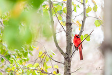 Red Northern Cardinal Bird, Cardinalis, Perched On Tree Branch With Autumn Or Spring Green Yellow Leaves On Cherry Plant With Vibrant Redbird Colors