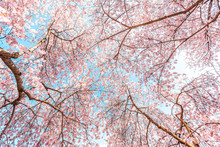 Looking Up At Pink Cherry Blos...