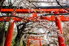 Kyoto, Japan Cherry Blossom Sa...