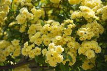 Flowers Banksiae Lutea In Spri...