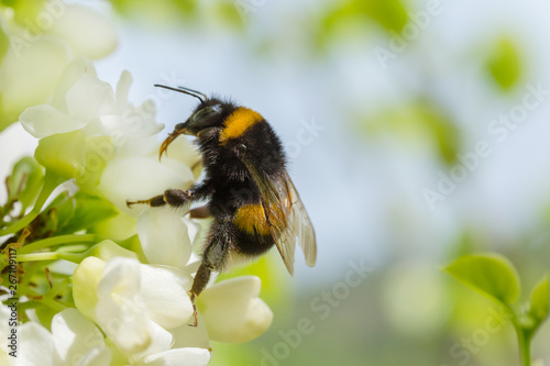 Macro photographie close up of bumblebee on white acacia blossoming
