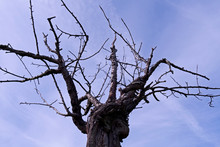 Plants: Naked Treetop Of An Old Apple Tree In Front Of The Blue Sky