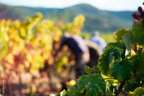 Fotomural  Vine leaves in the foreground with harvesters behind.
